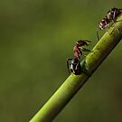 Ants by Lifeware