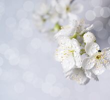 Spring blossoms. by Ligak