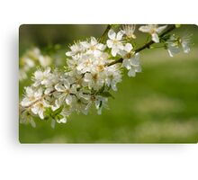 Blossoms. Canvas Print