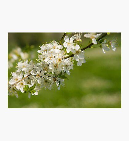 Blossoms. Photographic Print