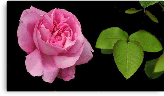 PINK ROSE ~ by RoseMarie747
