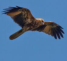 ''Whistling Kite'' by bowenite