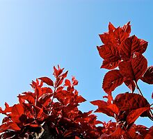 Bright Red Leaves and Clear Blue Skies by kyleO