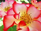 Colorful Bright Rose Pink White Red Flower Baslee Troutman by BasleeArtPrints