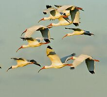 Flight of the Ibis by Larry  Grayam