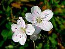 Spring Beauty Wildflower - Claytonia virginica by MotherNature