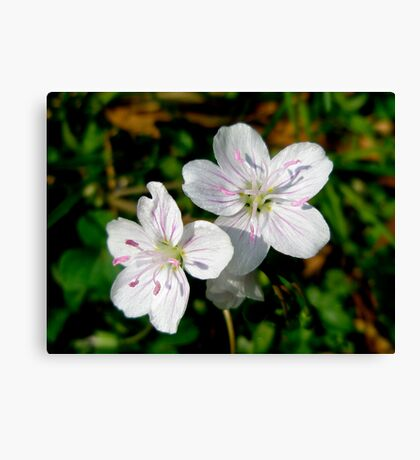 Spring Beauty Wildflower - Claytonia virginica Canvas Print