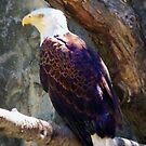 American Eagle by rocperk