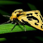 yellow and black tussock moth by Helenvandy