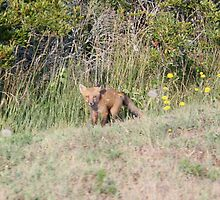Baby Red Fox by Cheryl Pingatore