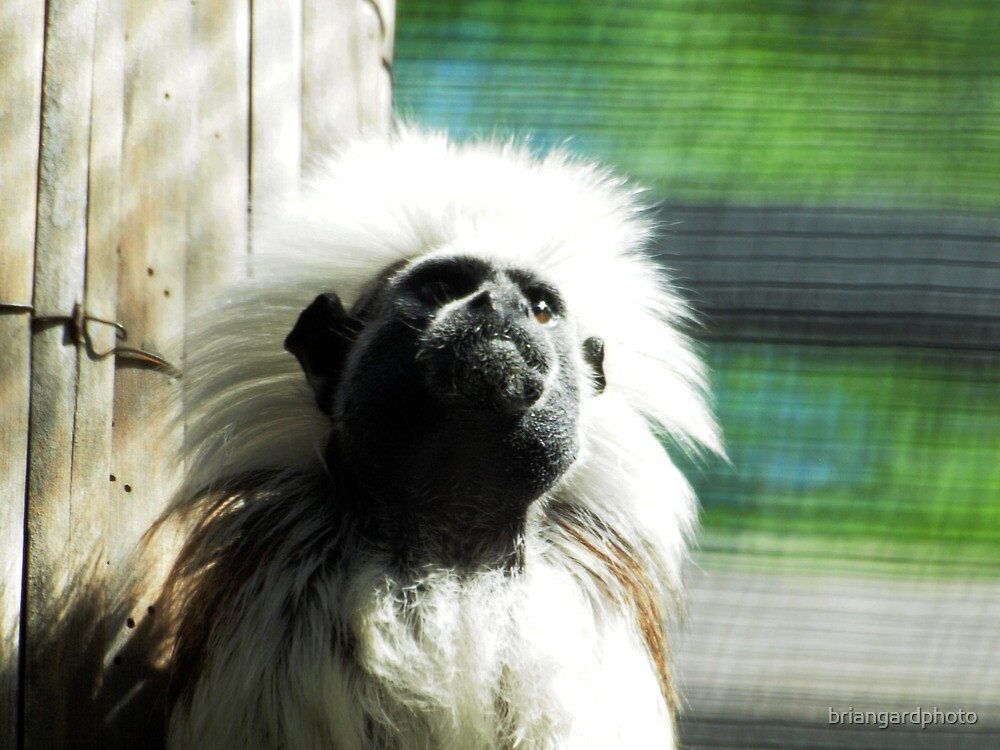 cotton-headed tamarin (Saguinus oedipus) @ AQUARIUM by briangardphoto