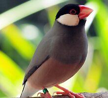 Java Finch (Padda oryzivora) @ NATIONAL ZOO & AQUARIUM by briangardphoto