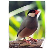 Java Finch (Padda oryzivora) @ NATIONAL ZOO & AQUARIUM Poster