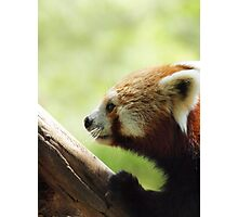 RED PANDA @ NATIONAL ZOO & AQUARIUM  Photographic Print