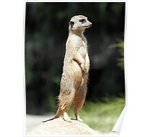 MEERKAT @ NATIONAL ZOO & AQUARIUM Poster