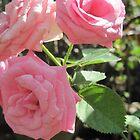 roses by emmamalapo