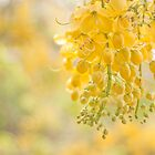 Golden Shower ( cassia Fistula ) by rajeshbac