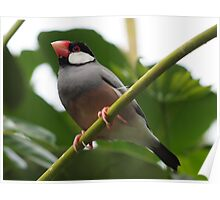 Java Finch (Padda oryzivora) @ TARONGA ZOO SYDNEY Poster