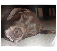 Labrador Cadbury Having nap Poster