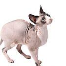 Sphynx cats - 1 by xTRIGx