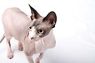Sphynx cats - 3 by xTRIGx