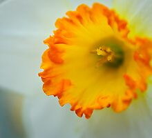 inside a daffodil by Gerry Daniel
