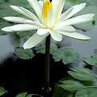 White water lily by JennyLee