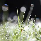 Lawn Diamonds by Alison Malcolm Flower