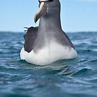 Salvin's Albatross - New Zealand by Kimball Chen