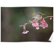 Silvereye and Blossom Poster
