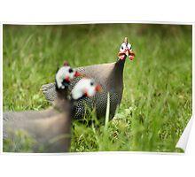 Guinea Fowl Gawking Poster