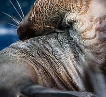 Australian Fur Seal by caradione