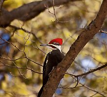 Pileated Woodpecker - Ottawa, Ontario by Josef Pittner