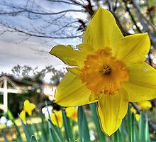 Narcissus Glory by Bluesoul Photography