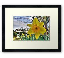 Narcissus Glory Framed Print