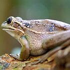 Green and gold Bell Frog by voir