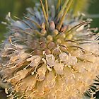 Blossomed thistle by Ana Belaj