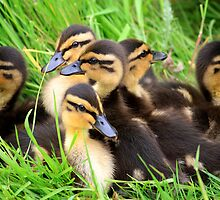 Ducklings snuggled together by RedMann