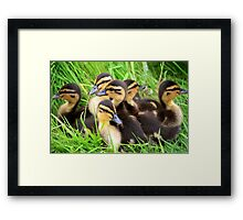 Ducklings snuggled together Framed Print