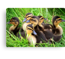 Ducklings snuggled together Canvas Print