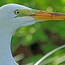 Great white egret portrait by jozi1