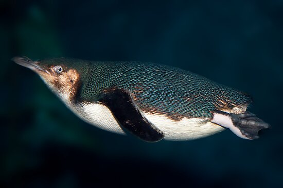 Blue Penguin by Kimball Chen