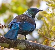 Tui - New Zealand by Kimball Chen