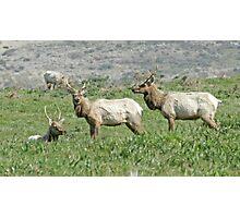 The elk boys Photographic Print