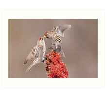 Common Redpolls Art Print