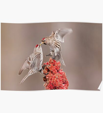 Common Redpolls Poster