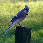 Beautiful BlueJay! by PatChristensen