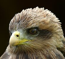 Yellow Billed Kite by Mark Hughes