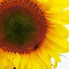 Yellow Sun Flower by Liza Barlow