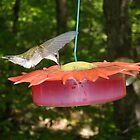 Female Ruby Throated Hummingbird by KyleMWhite